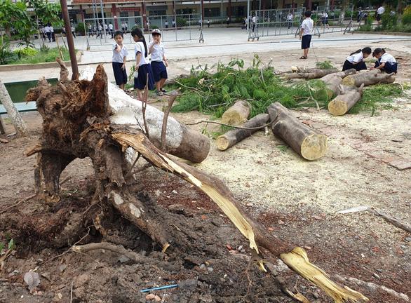 Thêm 1 cây phượng bật gốc trong trường tiểu học tại Bình Dương 1