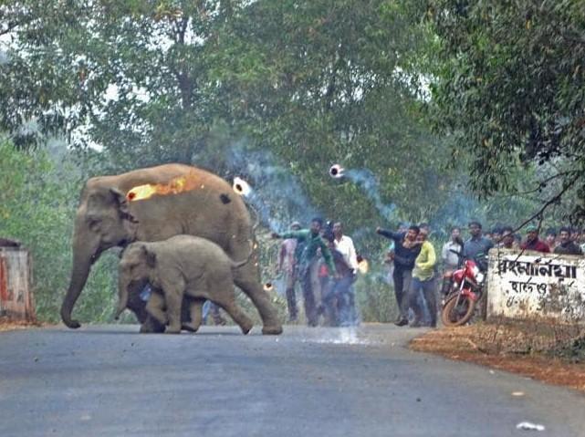 Mẹ con nhà voi vào làng xin thức ăn, người dân tiếp đãi bằng gạch đá và những quả cầu lửa 3