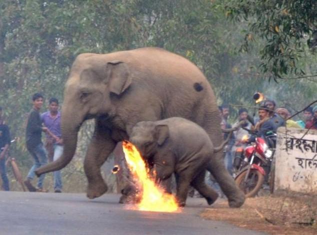 Mẹ con nhà voi vào làng xin thức ăn, người dân tiếp đãi bằng gạch đá và những quả cầu lửa 2