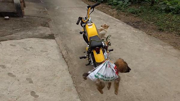برادران تام مائو با مجبور کردن سگهای آویزان به جاده به کشیدن ، انتقادات زیادی را دریافت کردند 4
