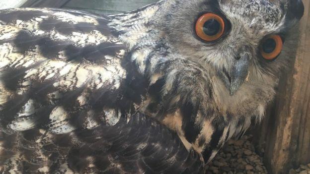 Cú đại bàng 'trống' đẻ trứng khiến cả khu bảo tồn bất ngờ 2