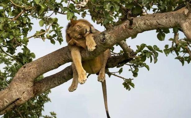 Bật cười trước cảnh sư tử nằm vắt vẻo trên cây ngủ trưa 1