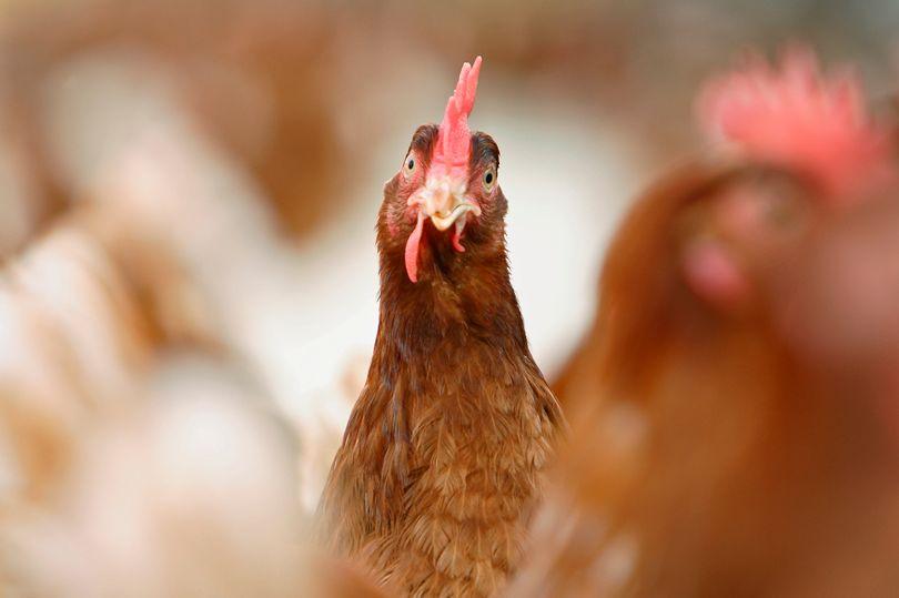 Người phụ nữ bị gà mổ chết khi vào vườn nhặt trứng 1