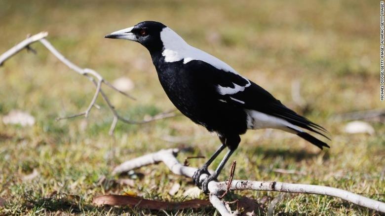 Người đàn ông Úc tử vong sau khi bị chim mổ 1