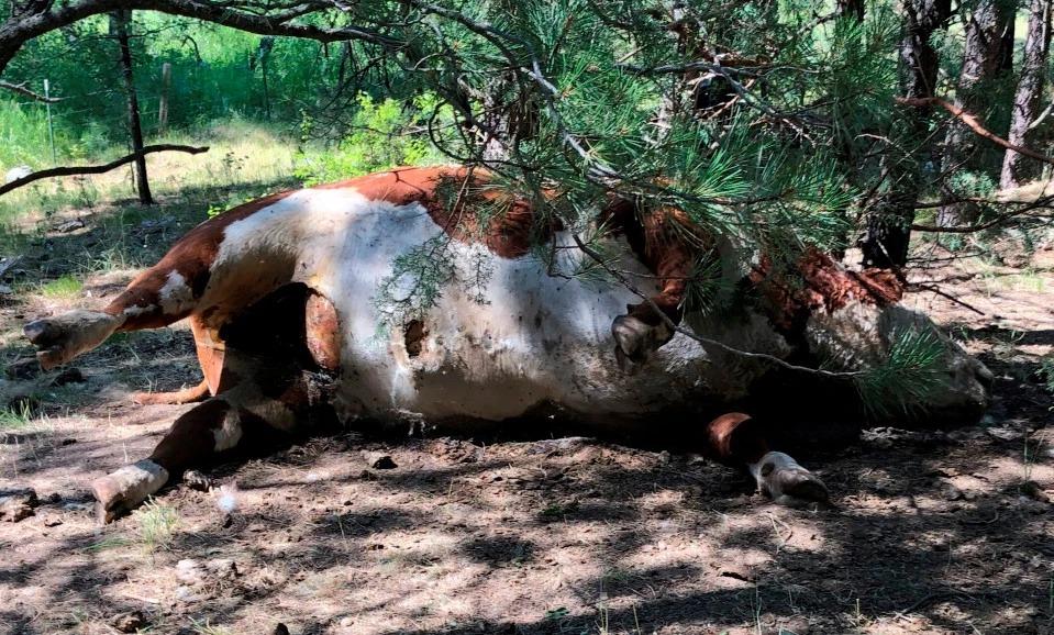 Bí ẩn bò bị giết bất thường ở Mỹ 1