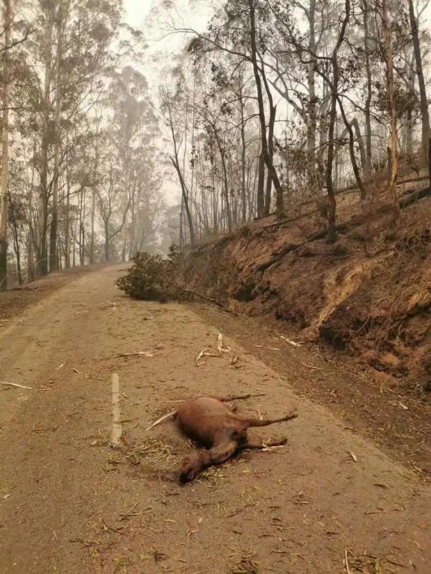 Gần nửa tỷ động vật chết do cháy rừng, xác nằm la liệt gây ám ảnh tại Úc 3