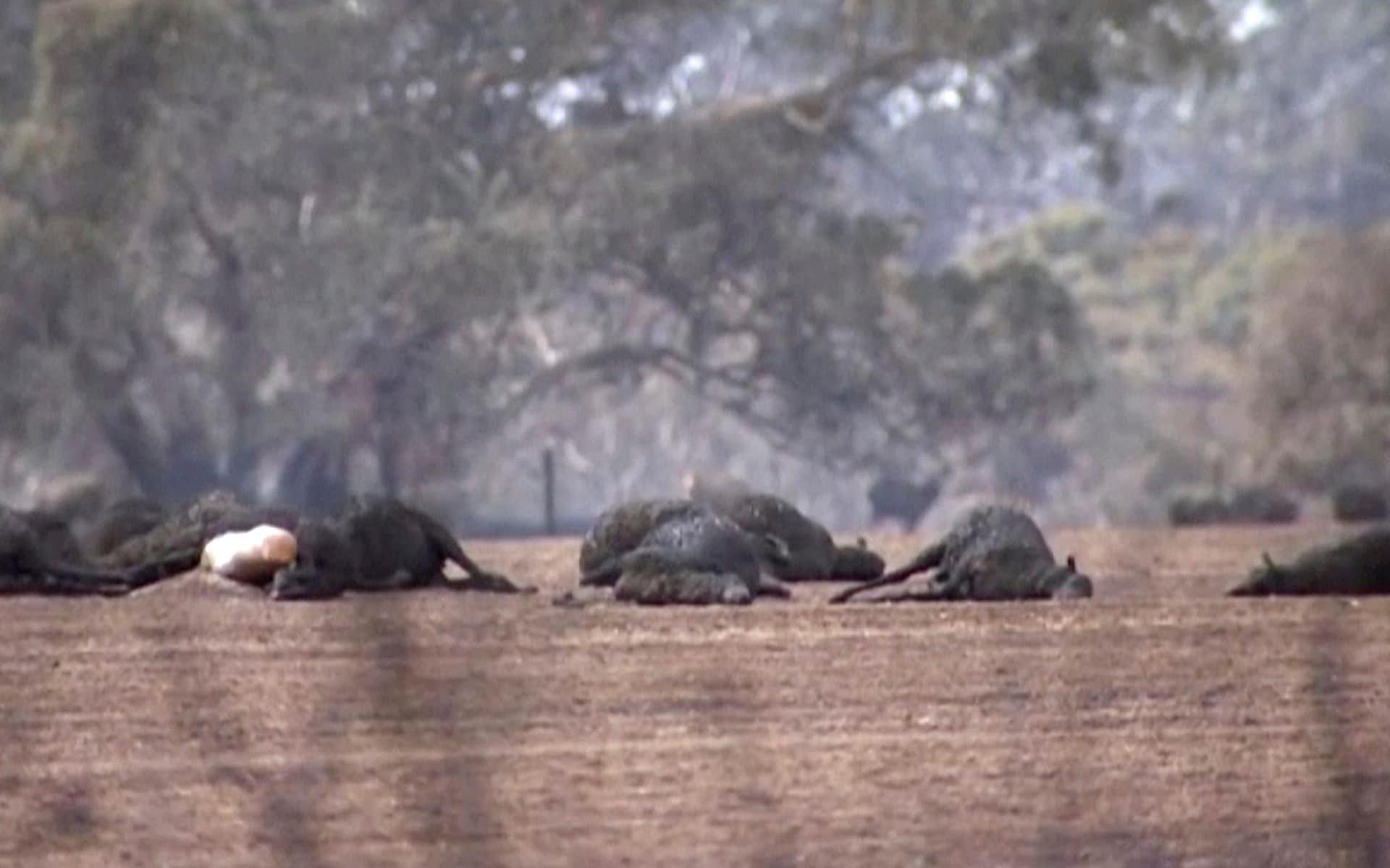 Gần nửa tỷ động vật chết do cháy rừng, xác nằm la liệt gây ám ảnh tại Úc 6