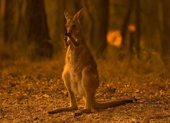 Sốc: Đã 1 tỷ động vật chết vì cháy rừng Australia 3