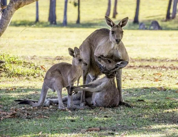 Rơi nước mắt cảnh kangaroo ôm bạn đời trước khi chết 2