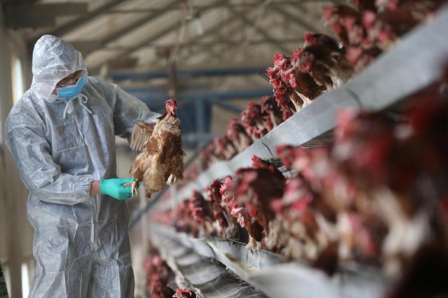 Chưa dập được virus corona, Trung Quốc lại phát hiện ổ cúm gia cầm 1