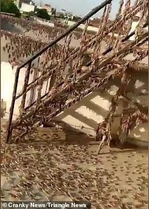 Đàn châu chấu khủng nhất 27 năm nhấn chìm một thị trấn Ấn Độ 1