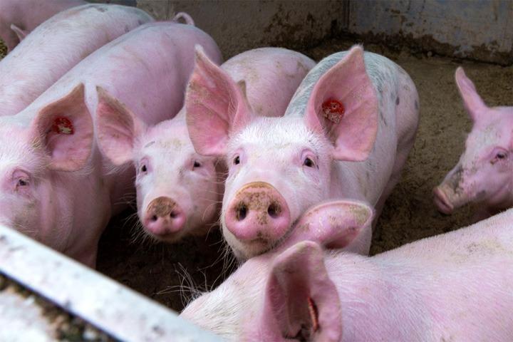 Giá lợn hơi hôm nay ngày 11/8: Tiếp tục đà giảm sâu 1