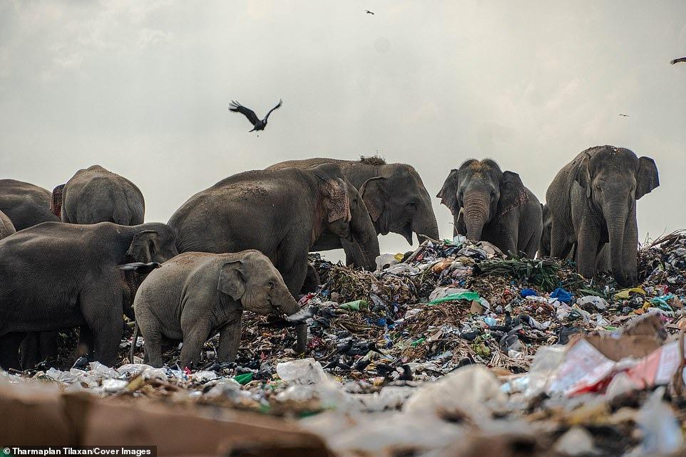 Đau lòng cảnh đàn voi rừng sục sạo khắp bãi rác kiếm ăn, dạ dày toàn nhựa không thể tiêu hóa 1