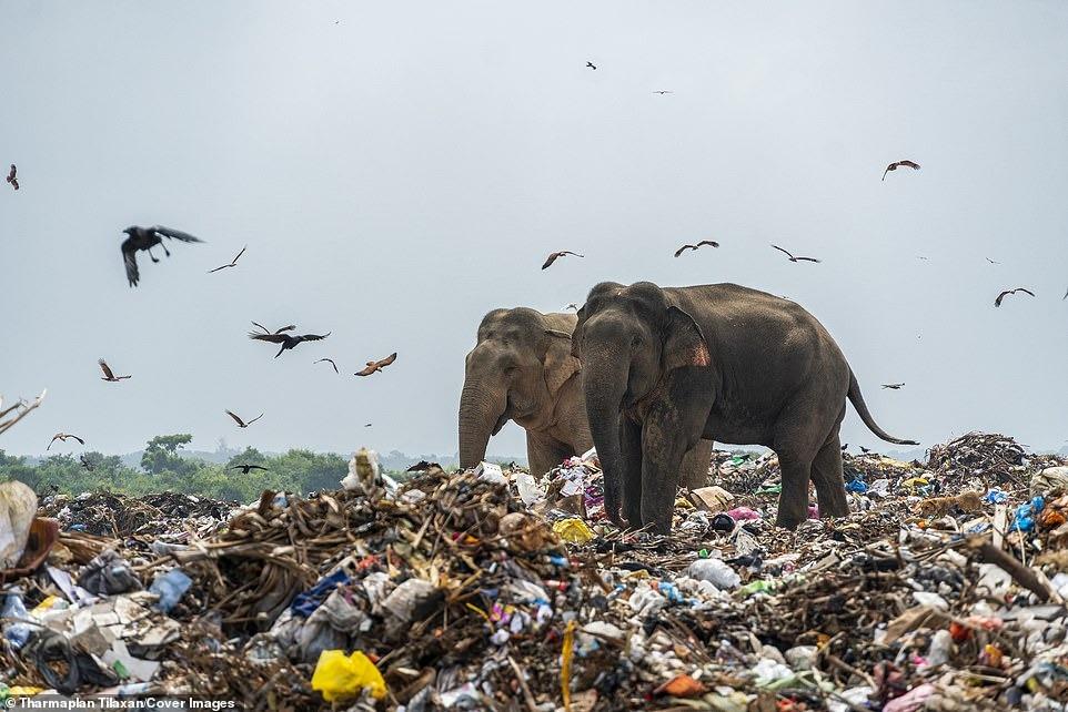 Đau lòng cảnh đàn voi rừng sục sạo khắp bãi rác kiếm ăn, dạ dày toàn nhựa không thể tiêu hóa 12