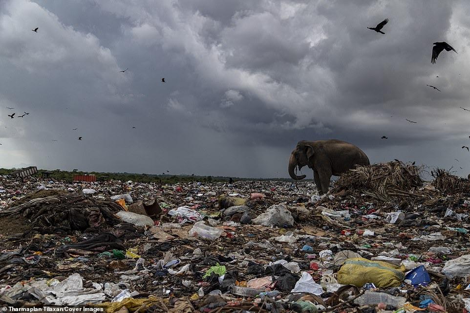 Đau lòng cảnh đàn voi rừng sục sạo khắp bãi rác kiếm ăn, dạ dày toàn nhựa không thể tiêu hóa 5