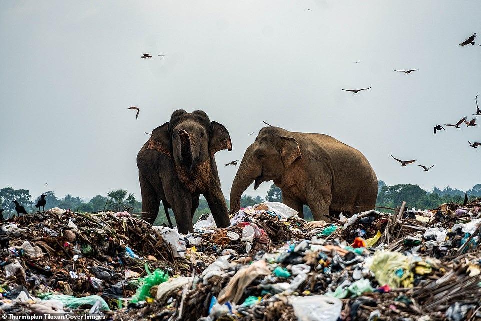 Đau lòng cảnh đàn voi rừng sục sạo khắp bãi rác kiếm ăn, dạ dày toàn nhựa không thể tiêu hóa 6