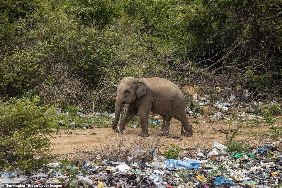 Đau lòng cảnh đàn voi rừng sục sạo khắp bãi rác kiếm ăn, dạ dày toàn nhựa không thể tiêu hóa 8