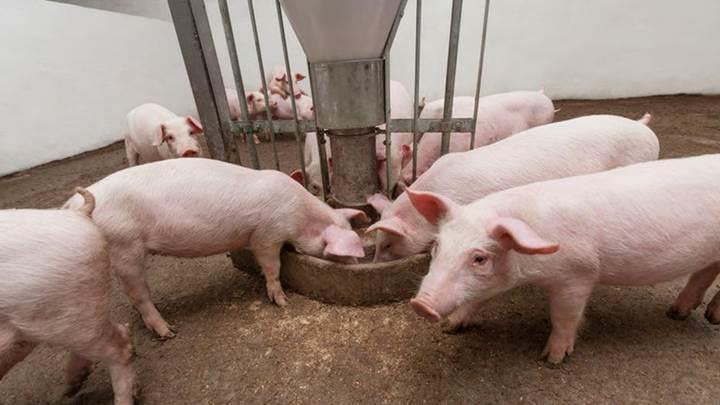Giá lợn hơi ngày 23/11: Đảo chiều nhẹ, miền Bắc vẫn thấp kỷ lục 1