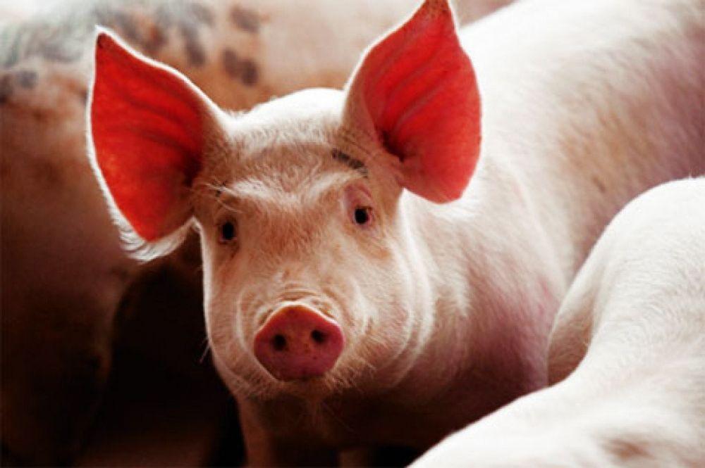 Giá lợn hơi ngày 26/11: Miền Nam bất ngờ lao dốc 1