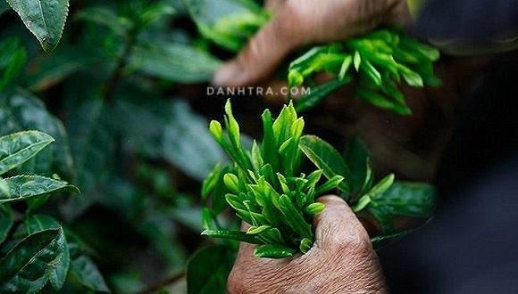 Trà Thái Nguyên – cực phẩm quà tặng mà bạn khó lòng bỏ qua 1