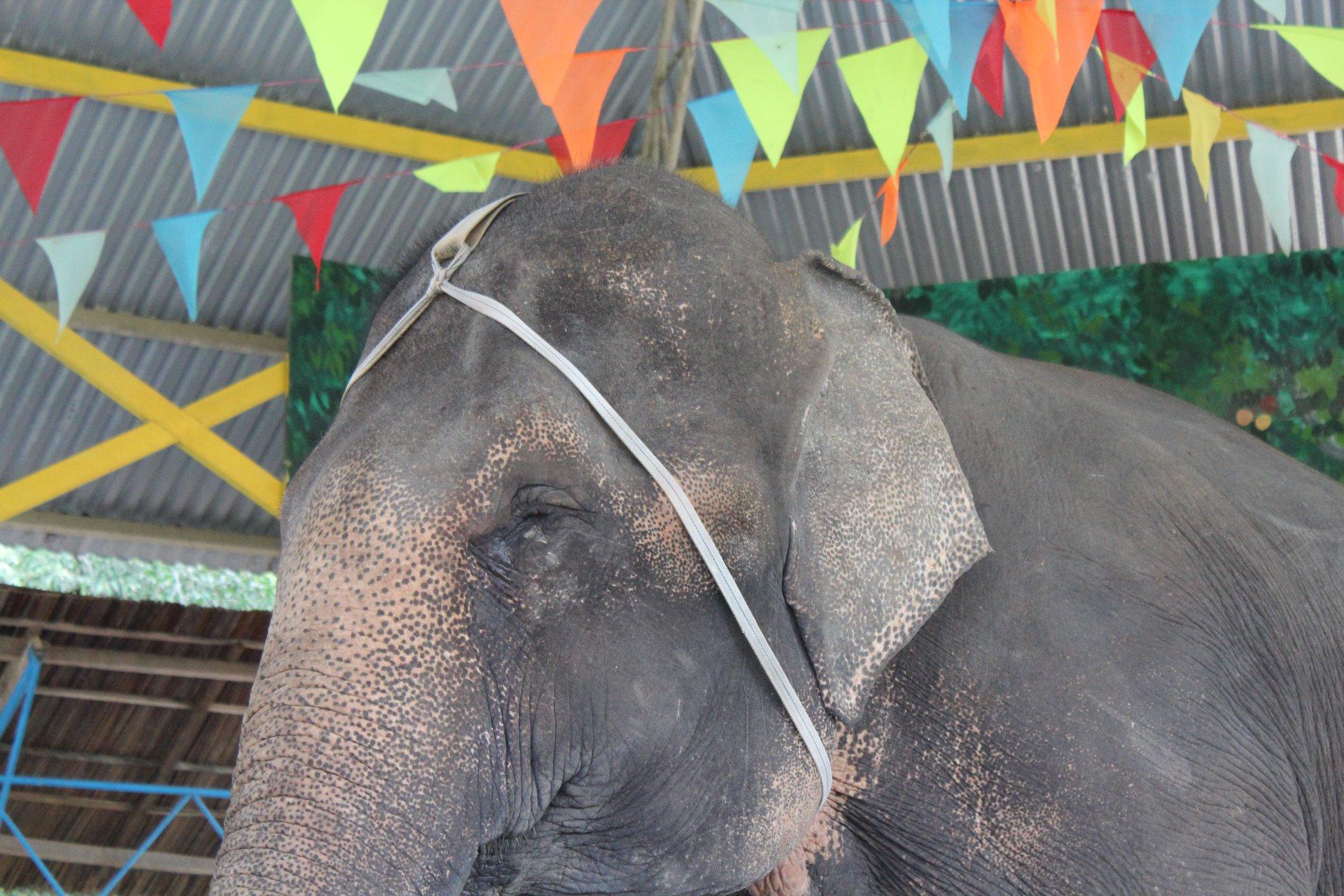 Dân mạng dậy sóng trước câu chuyện con voi bị bóc lột trong gánh xiếc tại Nha Trang 2