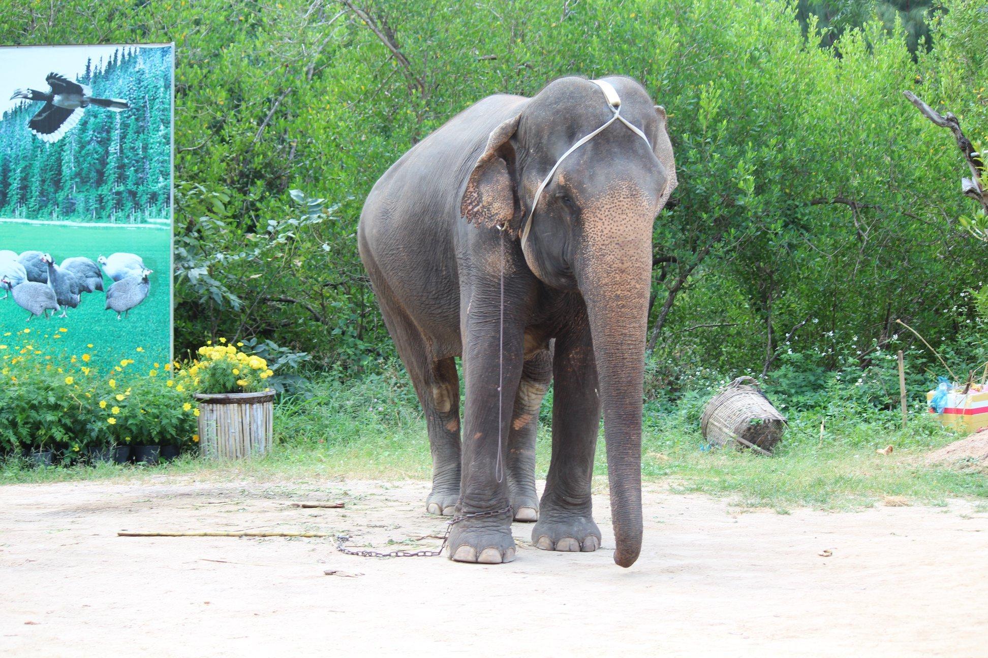 Dân mạng dậy sóng trước câu chuyện con voi bị bóc lột trong gánh xiếc tại Nha Trang 7